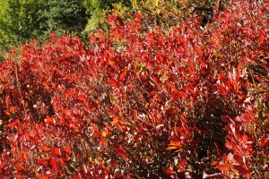 red shrubs, fall colors, Lake Ann trail, north cascades hikes