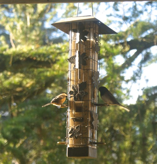 chickadee, junco, spring birds, washington song birds, project feeder watch