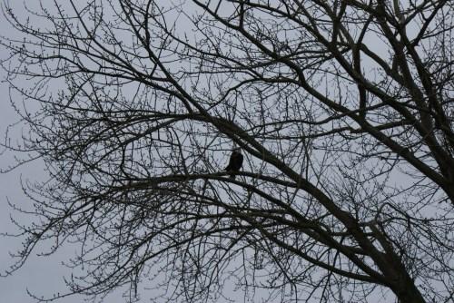 bald eagle, birds of prey, skagit flats, birding with kids