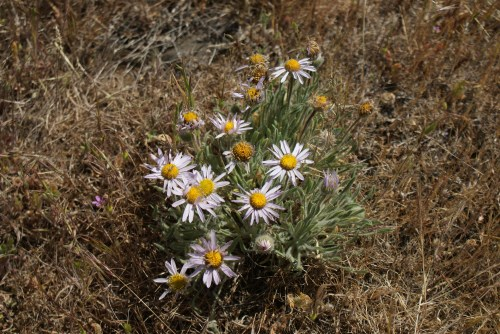 washington desert wildflowers, columbia hills state park, horsethief butte,