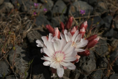 washington wildflowers, hiking columbia gorge, native plants,