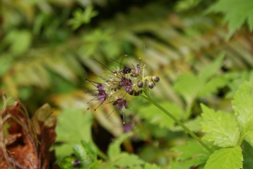 washington native plants, purple flowers