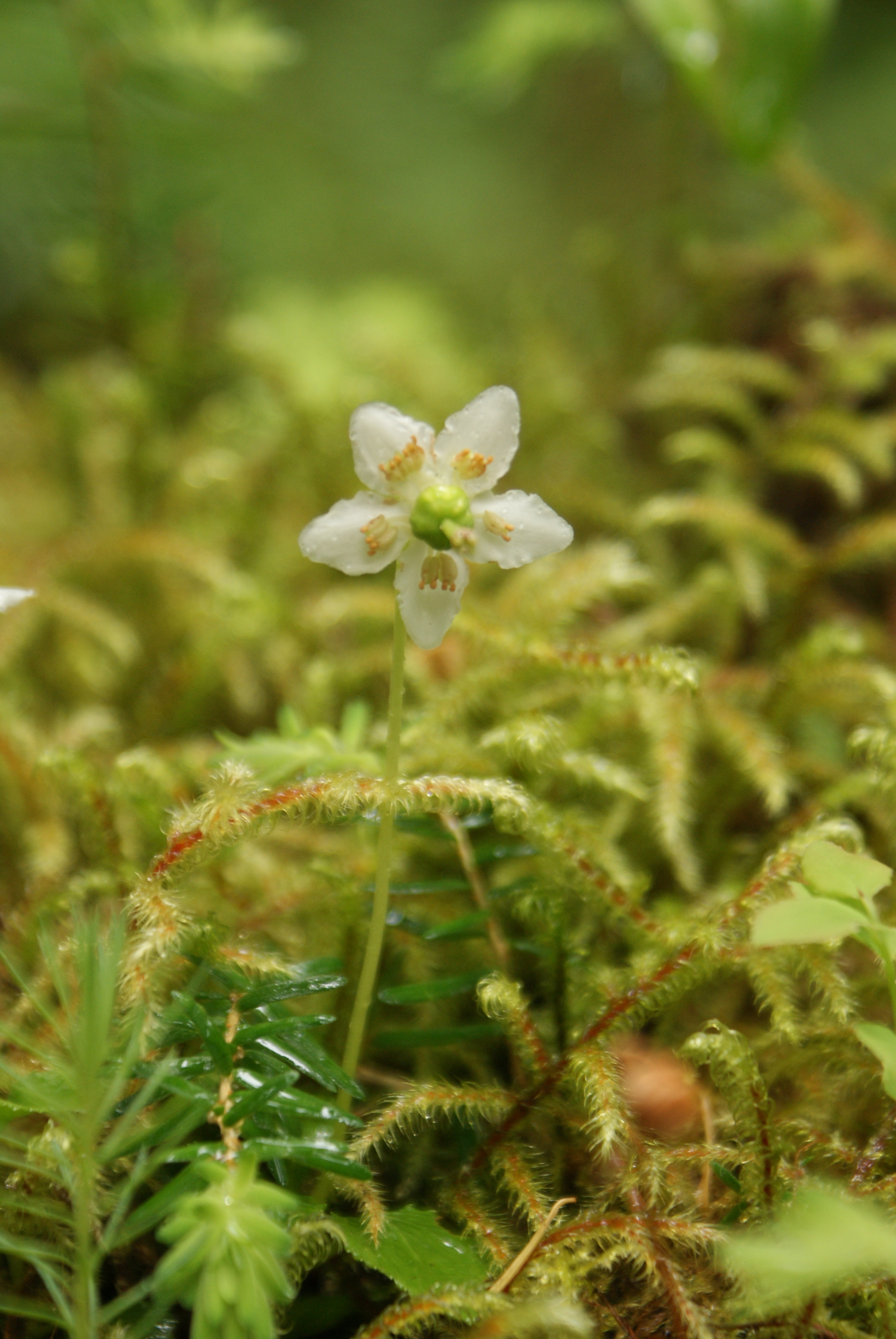 Tiny White Flower on a Mossy Log