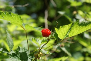 washington native plants, orange berries, beaver lake trail