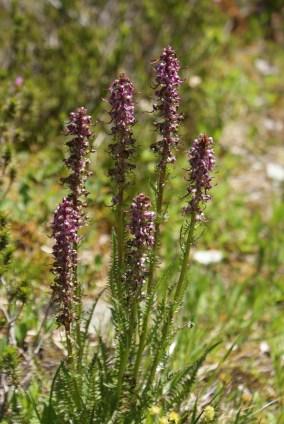 mt baker wildflowers, summer mountian flowers, purple, washington native plants