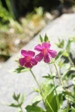 mt baker hiking, best hikes for kids, summer, washington native plants, pink flowers