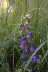 yellowstone flowers, purple