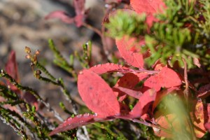 heather pass, fall color, best hikes for kids, heather, fall foliage, red leaves, north cascades