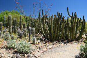 arizona sonora desert museum, cactus garden, desert plants