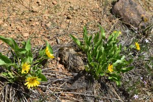 rough and ready botanical area, california native wildflowers, yellow flowers, native plants, , hikes for kids