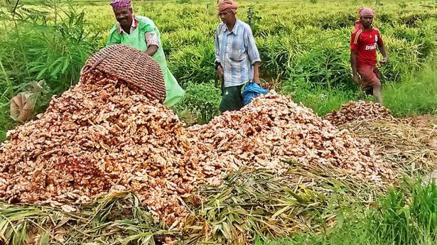 Low price worries ginger farmers  KERALA  The Hindu