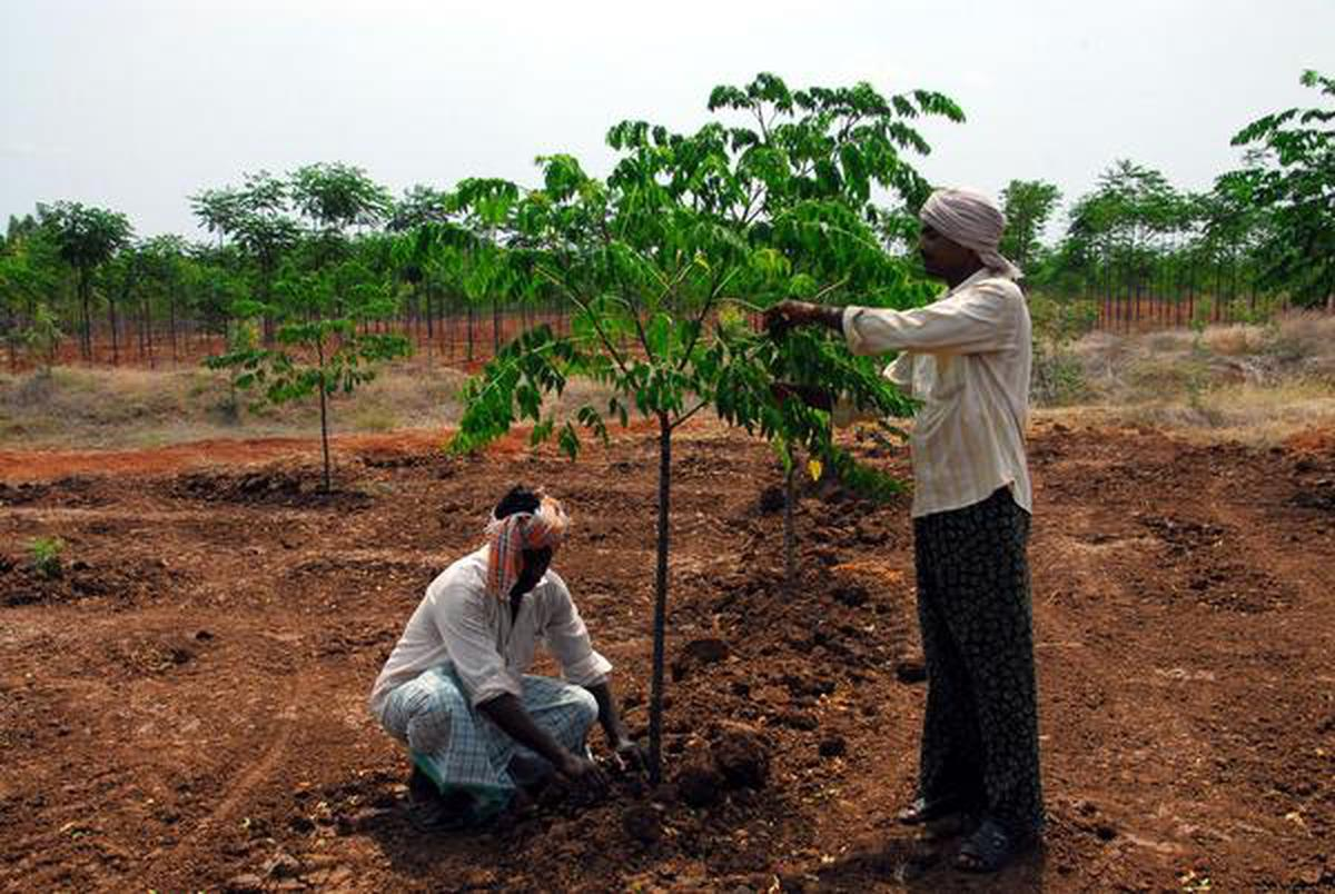 chairman meaning in tamil luxury leather office chairs uk farmers find better alternative malabar neem - the hindu