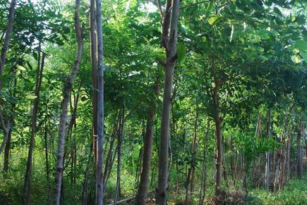 Japanese botanist akira miyawaki envisaged the concept of miyawaki forests in the 1980s. Quick Growing Forests Showcase Miyawaki Horticultural Technique In India The Hindu