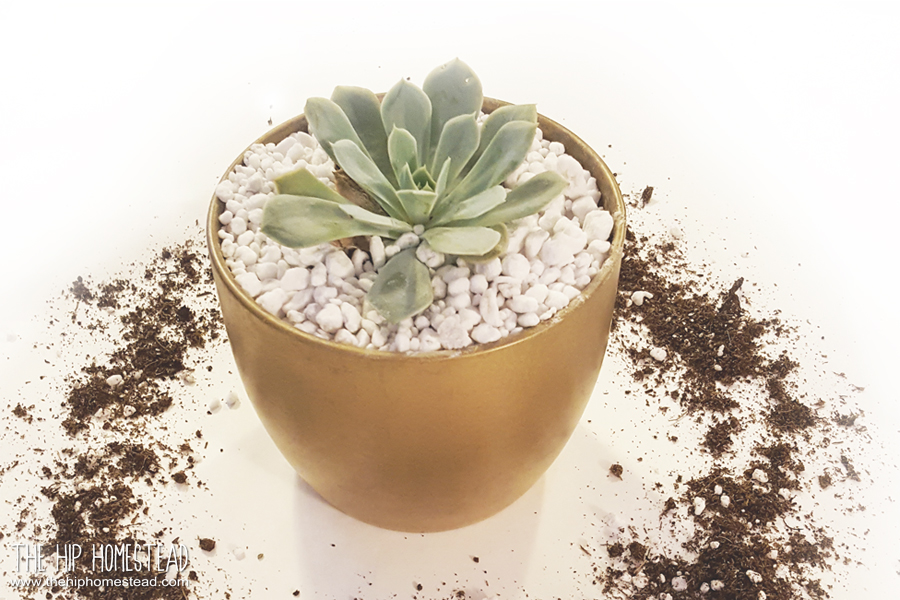 Potting Up Succulents The Hip Homestead