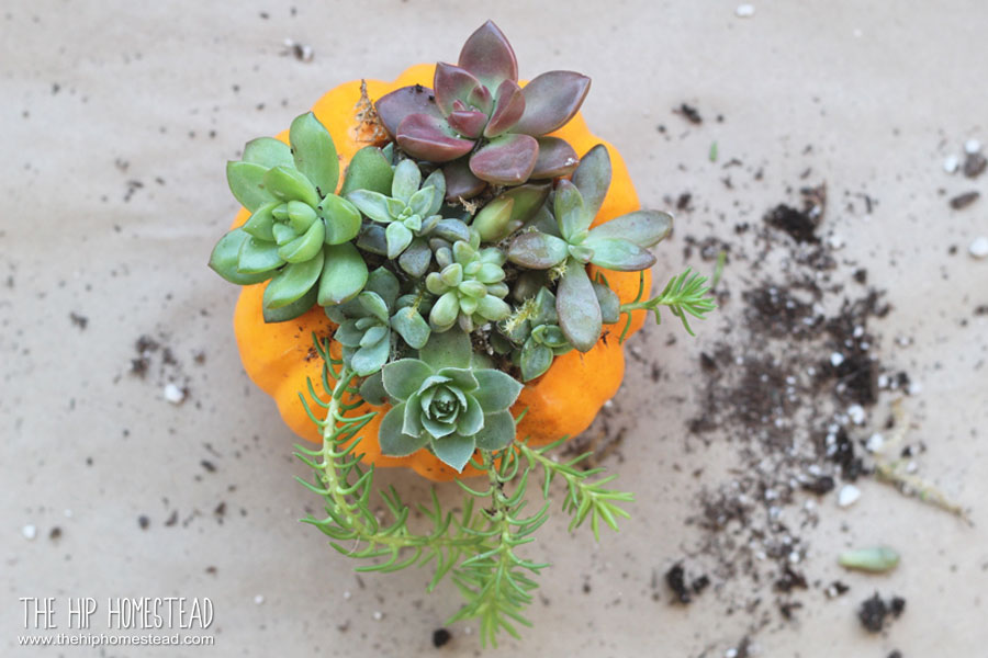 How to Make Mini Succulent Pumpkin Planters - The Hip Homestead