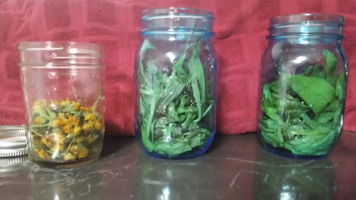 My jars before I added the olive oil: Dandelion, Plantain, Comfrey