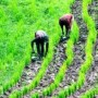 '300 farmers  plant rice in Ogbese, Uso'