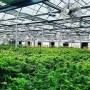 Nigeria'll benefit from Ondo's medicinal cannabis cultivation-Expert