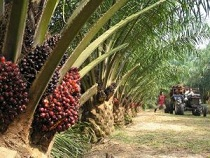 Why we are yet to apply for FG's loan – Oil Palm farmers