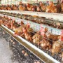 EndSARS protests: Ondo poultry farmers count losses