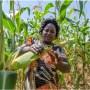 Maize price to crash Feb