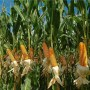 Maize scarcity: Stakeholders urge govt intervention