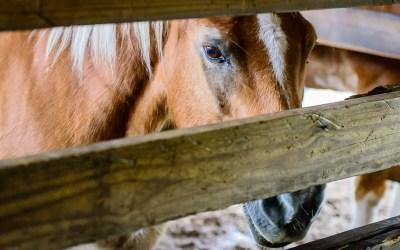 Horsemen, Surgeons And Equine Dentistry