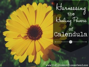 How to Harness the Healing Powers of Calendula (Plus Growing and Seed-Saving Tips)