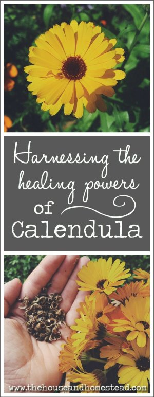 Calendula is a super plant packed with healing properties to help you treat everything from rashes and acne to infections and menstrual symptoms. Calendula is even gentle enough to use on a newborn baby's skin, making it an excellent natural diaper rash remedy. Learn how to grow, harvest, use and save the seeds from calendula flowers and start reaping the benefits today!