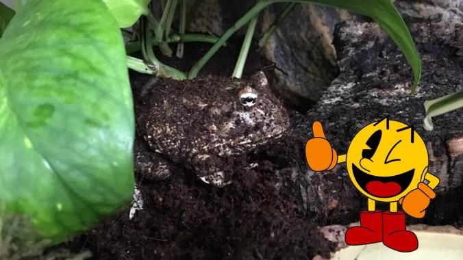 pacman-frog-pac-man
