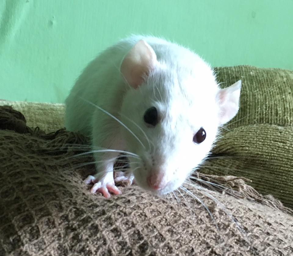 10 Things You Need To Know Before Owning Rats