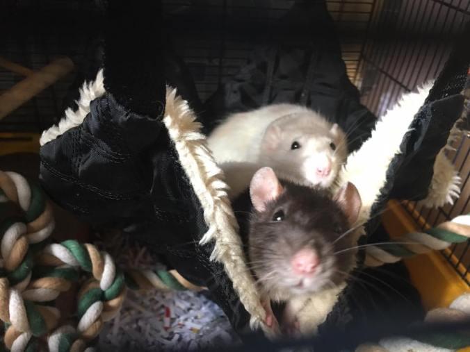 rat-hammock