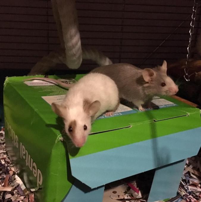 mice-need-company
