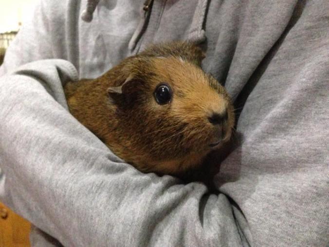 bring-guinea-pigs-indoors