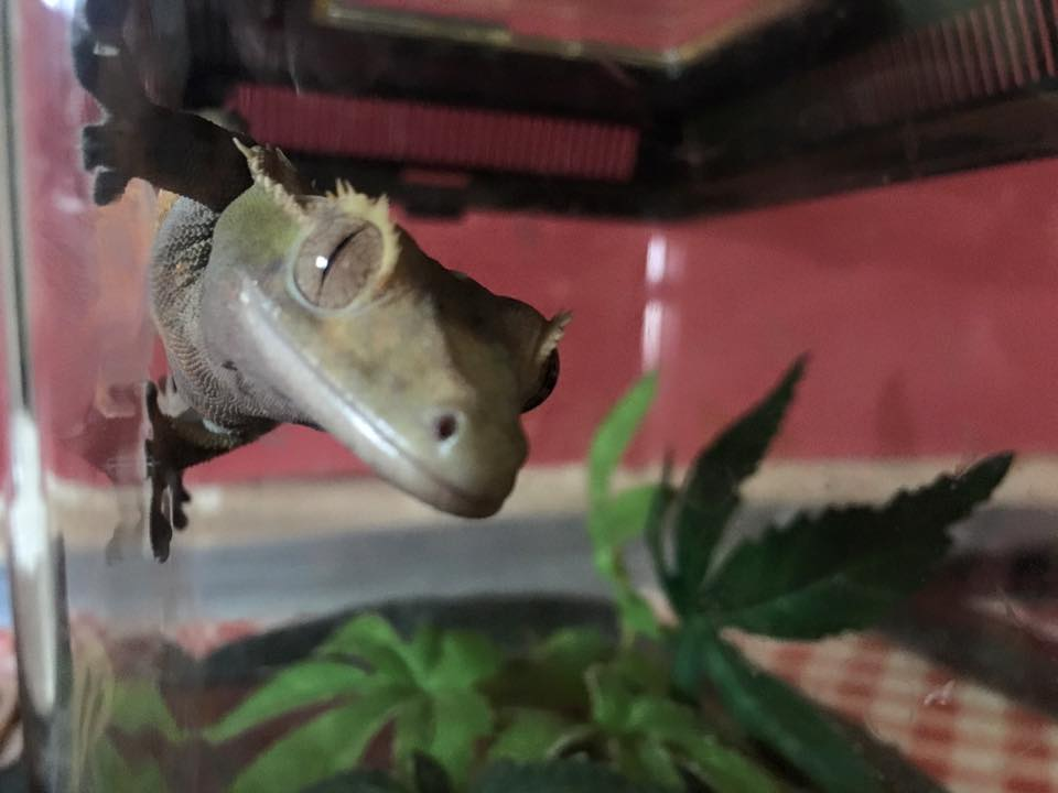 Meet Dobby – The Crested Gecko