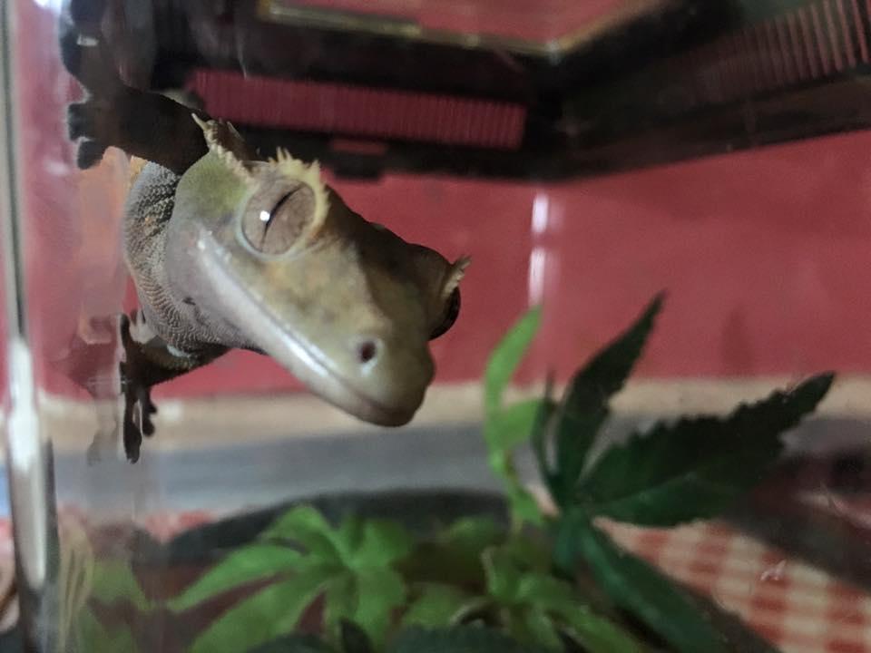 Meet Dobby – The Crested Gecko