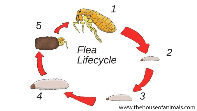 Flea lifecycle