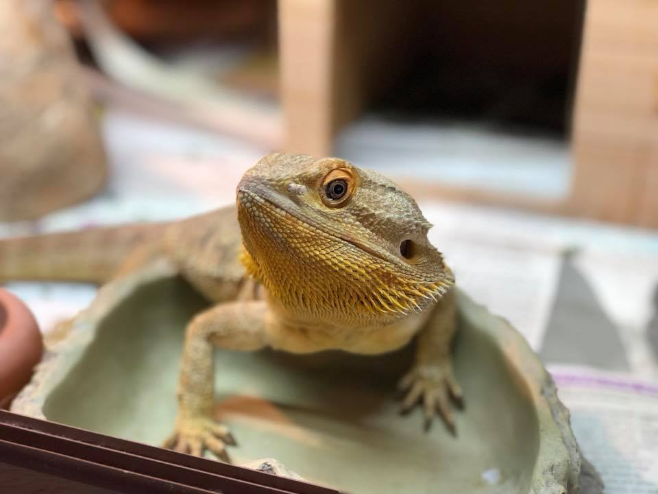Moving Home With Lizards