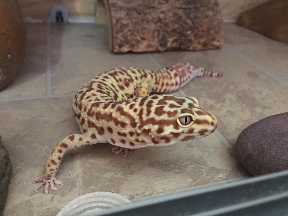 10 Things You Need To Know Before Owning A Leopard Gecko