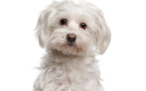Il Maltese cane di piccola taglia da appartamento e da