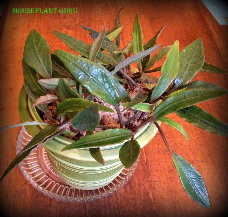 Euphorbia-Not Just Poinsettias