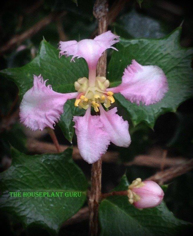 Malpighia coccigera flower close up.
