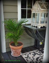 Parlour palm Chamaedorea elegans or porch palm in this case