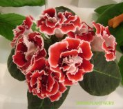 African violet convention 2012 168