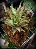 Aloe 'Blushing Pink'