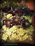 'Kiwi' Aeonium and a dark Aeonium