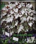 Begonia 'Shadow King Moonlight'
