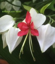 clerodendrum 011