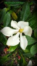 Gardenia augusta 'Vietnam'
