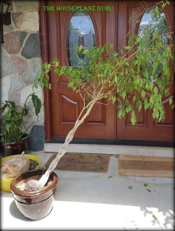 The poor Ficus before the help